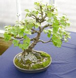 Bonsai_Tree_National Exhibition_2012_05.jpg