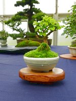 Scottish_Bonsai_Show_2012