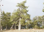 Ancient Black Pine in Troodos mountains Cyprus