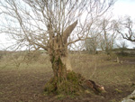 This was one of a group of ancient oaks around a dried up lochan at an old castle in Dumfriesshire