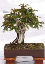 Gardening Scotland SBA Bonsai Tree Images