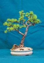 Japanese Larch Bonsai Tree - GS2016 Bonsai Show