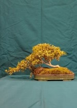 Golden Box Bonsai Tree - GS2016 Bonsai Show