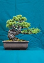 White Pine Bonsai Tree - GS2016 Bonsai Show