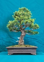 Japanese White Pine Bonsai Tree - GS2016 Bonsai Show