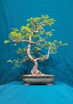 Hornbeam Bonsai Tree - GS2016 Bonsai Show