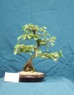 Downy Birch Bonsai Tree - GS2016 Bonsai Show