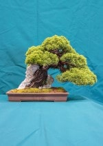 Chinese Juniper Bonsai Tree - GS2016 Bonsai Show