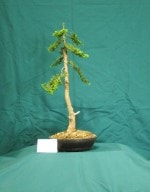 Cypress Bonsai Tree - GS2016 Bonsai Show