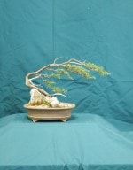 Juniper Bonsai Tree - GS2016 Bonsai Show