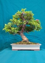 Paul Scarlet Hawthorn Bonsai Tree - GS2016 Bonsai Show