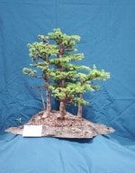 Larch Bonsai Tree - GS2016 Bonsai Show