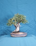Yew Bonsai Tree - GS2016 Bonsai Show