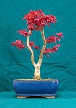 Japanese Maple Bonsai Tree - GS2016 Bonsai Show