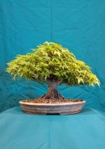 Maple Bonsai Tree - GS2016 Bonsai Show