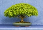 Kiyhime Maple Bonsai Tree - GS2017 Bonsai Show