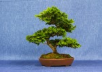 Hinoki Cypress Bonsai Tree - GS2017 Bonsai Show