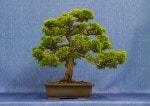 Juniper Plumosa Aura Bonsai Tree - GS2017 Bonsai Show