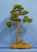 Scots Pine Bonsai Tree - GS2017 Bonsai Show