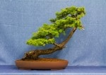 European Larch Bonsai Tree - GS2017 Bonsai Show