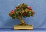 Red Hawthorn Bonsai Tree - GS2017 Bonsai Show