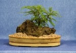 Korean Rowan Bonsai Tree - GS2017 Bonsai Show