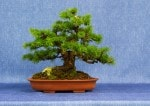 Japanese Larch Bonsai Tree - GS2017 Bonsai Show