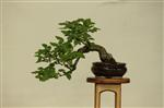 Gardening Scotland Bonsai Images