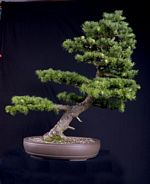 Larch, slanting style, height 20 inches, National Exhibition 2009