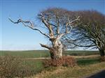 Close up of windswept beech near Stranraer. Yes it still lives.