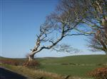 Windswept beech near Stranraer from a different angle