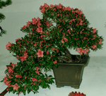 azalea semi-cascade, height = 9 inches