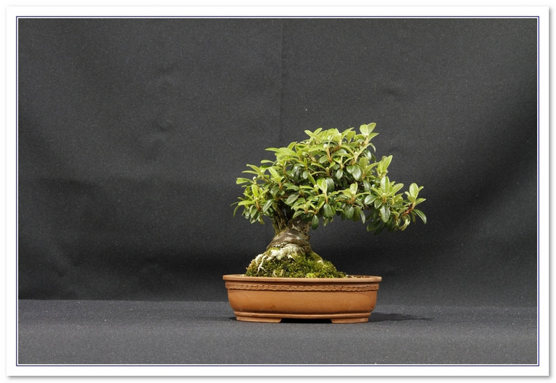 GS2015 - Cotoneaster Microphyllus