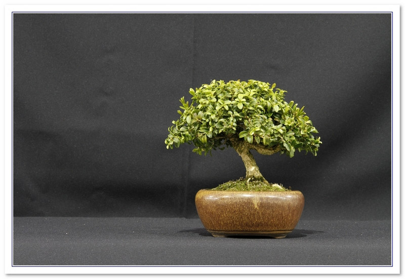 GS2015 - Buxus Microphylla - Kingsville