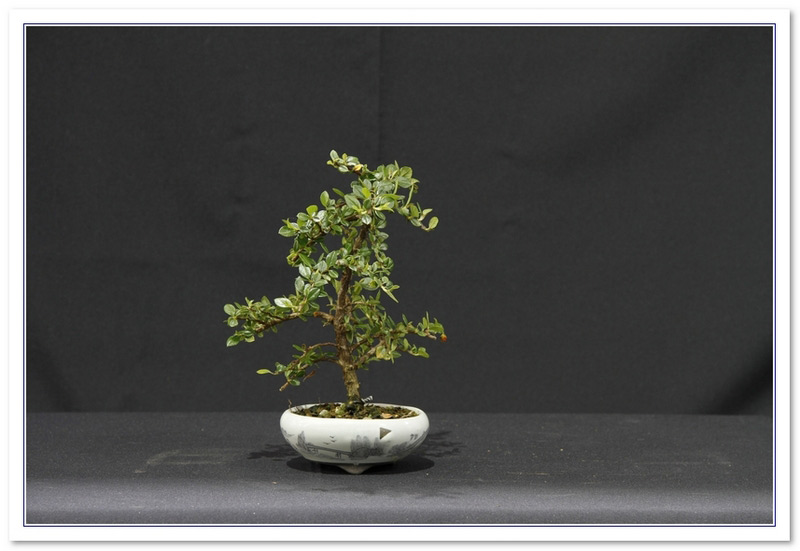 GS2015 - Cotoneaster 6