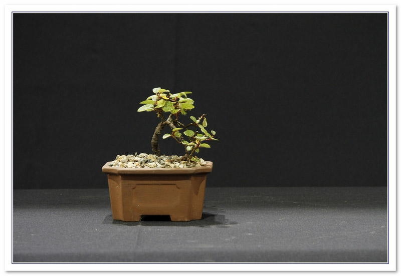 GS2015 - Net Leaf Willow