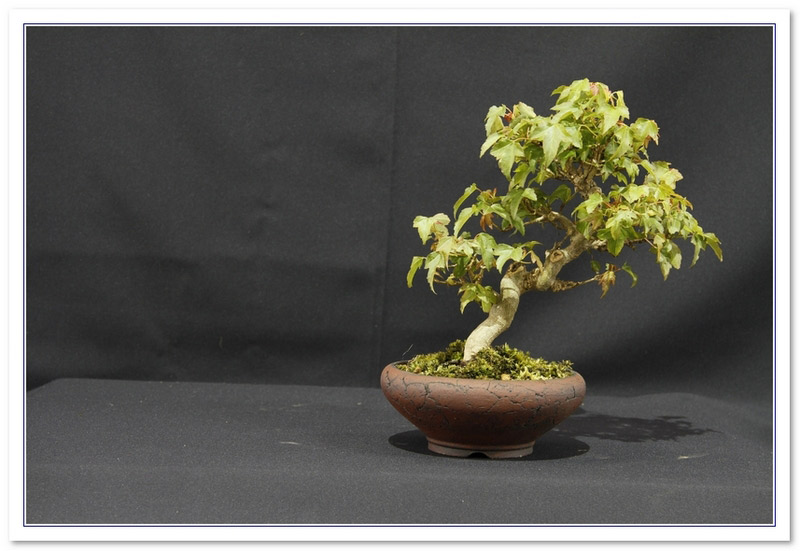 GS2015 - Trident Maple