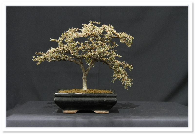 GS2015 - Cotoneaster