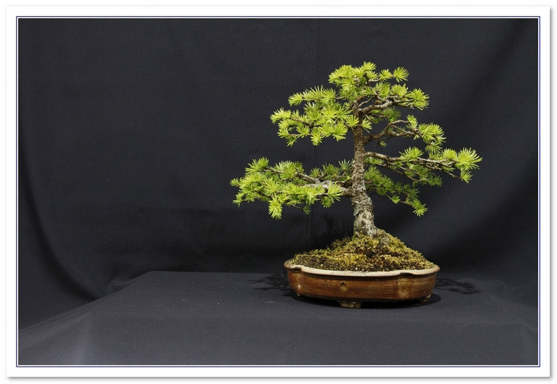 GS2015 - Japanese Larch