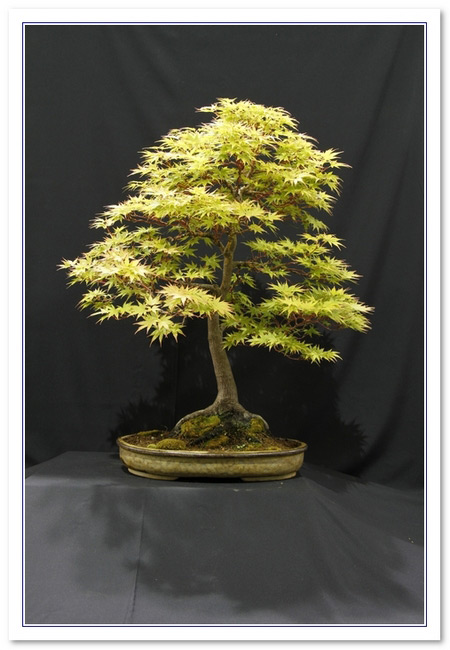 GS2015 - Yellow Maple