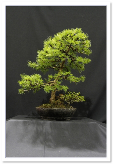 GS2015 - Larch And Cotoneaster