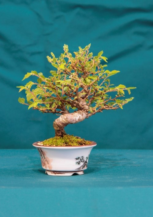 GS2016 - Chinese Elm