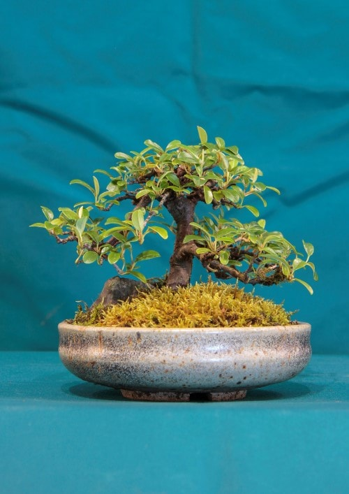 GS2016 - Rock Cotoneaster
