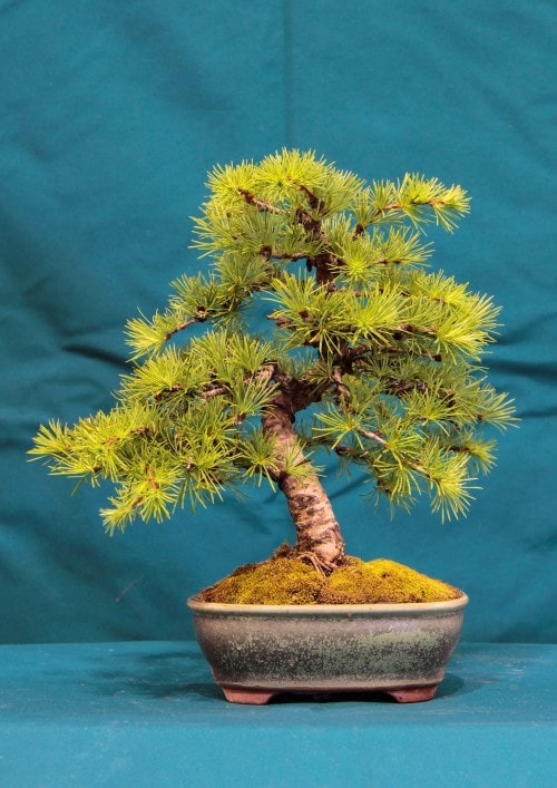 GS2016 - Japanese Larch