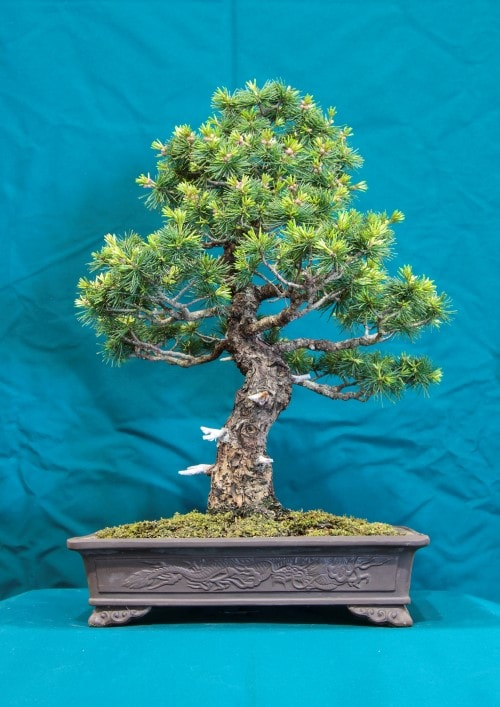 GS2016 - Japanese White Pine