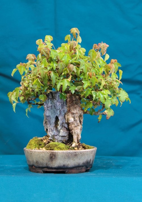 GS2016 - Trident Maple