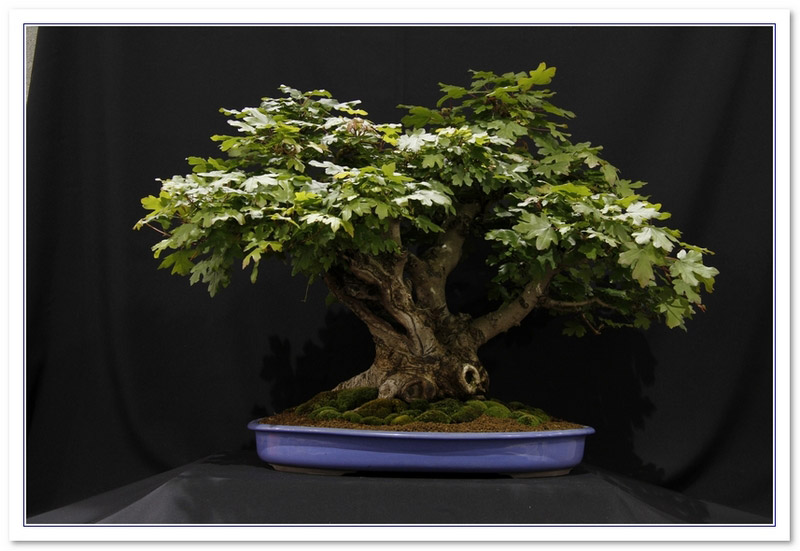 Maple - Field (Acer Campestre) Bonsai Tree Type (Outdoors)