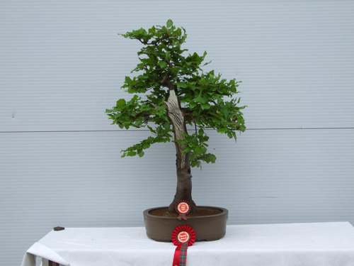 Beech (Fagus) Bonsai Tree Type (Outdoors)