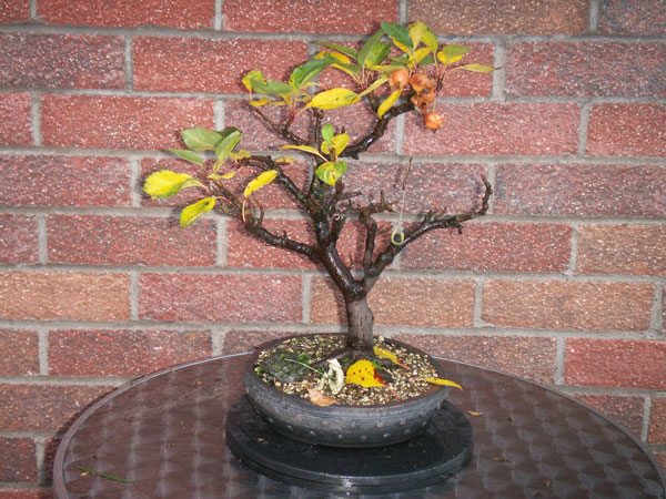 Deciduous Tree Bonsai Tree Type (Outdoors)