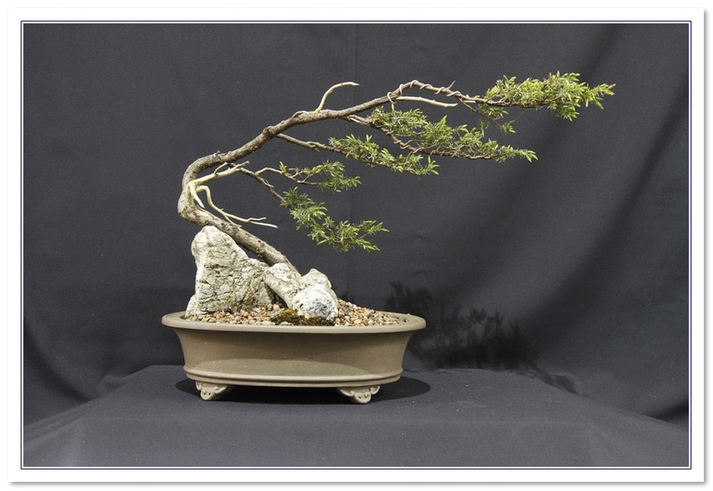 Juniper - Needle (Juniperus rigida/communis) Bonsai Tree Type (Outdoors)